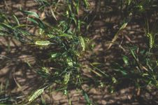 Free Vertical Shot Of Triticale Royalty Free Stock Photos - 87503008