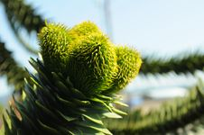 Free Monkey Puzzle Green Cones Royalty Free Stock Image - 87503046