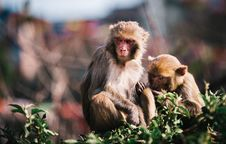 Free Monkeys In A Garden Royalty Free Stock Image - 87503596