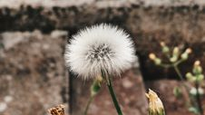 Free Close-up Of Dandelion Royalty Free Stock Photo - 87503905