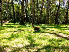 Free Quati No Parque Da Ferradura Royalty Free Stock Images - 87584919