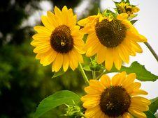 Free Three Sunflowers Stock Photography - 87585472