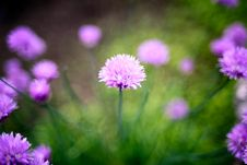 Free Chive Flower Royalty Free Stock Photos - 87585708