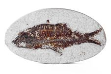 Free Knightia Fossil Fish Stock Images - 87585894