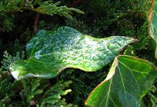Free Leaf With Water Drops 1 Royalty Free Stock Photography - 87586187