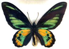 Free Green And Yellow Butterfly Stock Photography - 87586272