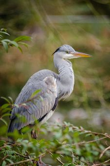 Free Grey Heron Stock Images - 87586284