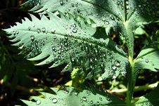 Free Leaf With Water Drops 3 Royalty Free Stock Photography - 87586337