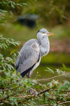 Free Grey Heron Stock Photo - 87586420