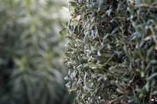Free Olive Tree Leaves Royalty Free Stock Image - 87586916