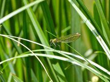Free Common Green Darner Stock Photo - 87587420