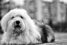Free White Black Old English Sheepdog Royalty Free Stock Image - 87587966