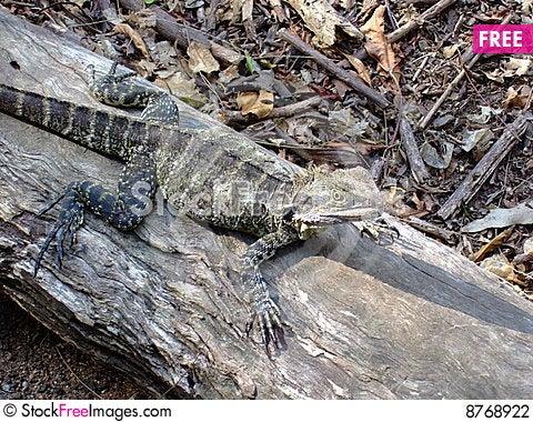 Gecko Kool Stock Photo