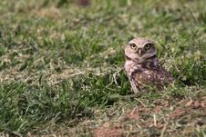 Free Burrowing Owl Royalty Free Stock Images - 8761199