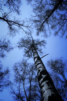 Free Birch Forest Royalty Free Stock Photography - 8766087