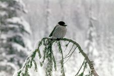 Free Gray Jay Royalty Free Stock Photos - 8767038