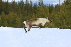 Free Reindeer Royalty Free Stock Images - 8767829