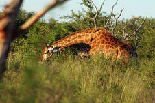 Free Giraffe Stock Image - 8768061