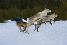 Free Reindeer Stock Photo - 8768870
