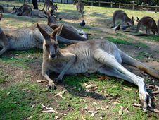 Free Recumbent Kangaroo Royalty Free Stock Photo - 8768885