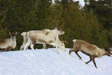 Free Reindeer Royalty Free Stock Image - 8769146