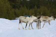 Free Reindeer Stock Images - 8769204
