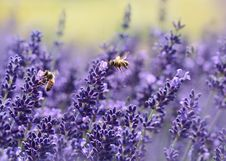 Free Bees On Purple Flower Royalty Free Stock Photos - 87659568