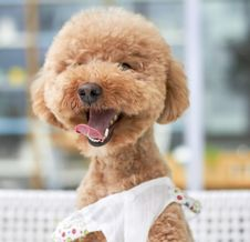 Free Cute Golden Poodle Puppy Royalty Free Stock Photo - 87660885