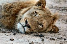 Free Brown Lion Lying On Brown Soil Stock Photo - 87662230