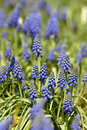 Free Bluebells (Grape Hyacinth) Royalty Free Stock Images - 8774139