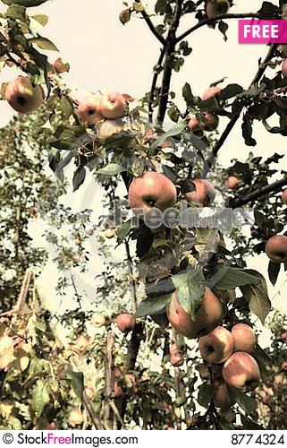 Apples hanging from a tree branch Stock Photo