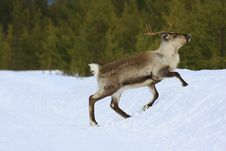 Free Reindeer Royalty Free Stock Photo - 8770115