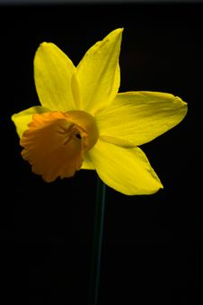 Single Daffodil On Black Stock Image