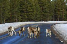 Free Reindeer Stock Images - 8770214