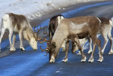 Free Reindeer Royalty Free Stock Photography - 8770347
