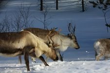 Free Reindeer Royalty Free Stock Photography - 8771597