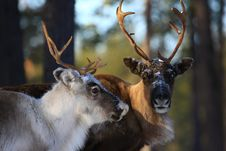 Free Reindeer Royalty Free Stock Photo - 8772365