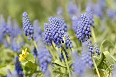 Free Bluebells (Grape Hyacinth) Royalty Free Stock Image - 8774126