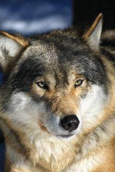 Free Wolf Stock Images - 8774194