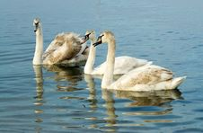Three Swimming Swans Royalty Free Stock Image