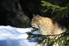 Free Lynx Stock Photography - 8776352
