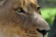 Free Lion Close Up Royalty Free Stock Photography - 8777367