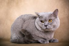 Free British Shorthaired Cat Royalty Free Stock Photography - 8777927