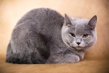 Free British Shorthaired Cat Stock Photos - 8777953