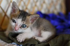 Free Sleepy Cute Kitten Royalty Free Stock Images - 8778259