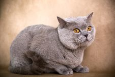 Free British Shorthaired Cat Royalty Free Stock Image - 8778646