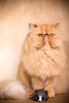 Free Persian Cat Stock Photography - 8778692