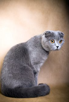 Free Scottish Fold Cat Royalty Free Stock Images - 8778759