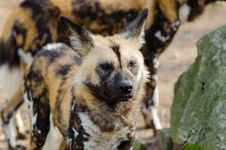 Free African Wild Dog Royalty Free Stock Photography - 87780677