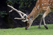 Free Spotted Deer Eating Grass On Green Grass At Daytime Stock Photos - 87780713